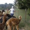 09-14-13_HairloomAlpacas_004