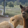 09-14-13_HairloomAlpacas_011
