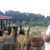 09-14-13_HairloomAlpacas_003