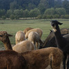 09-14-13_HairloomAlpacas_014