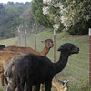 09-14-13_HairloomAlpacas_013