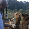 09-14-13_HairloomAlpacas_019