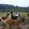09-14-13_HairloomAlpacas_015