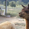 09-14-13_HairloomAlpacas_012